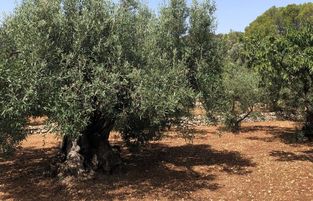 Los aceites de oliva de la Comunidad Valenciana son especiales ¿Por qué?